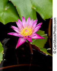 lotus flower - Lotus plants with beautiful flowers