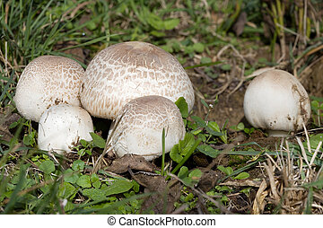 Meadow Mushroom - Ripe Field mushroom on the Meadow,...