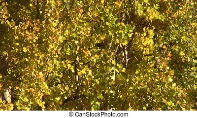 Aspens in Fall - a close up of aspens fluttering in the wind...