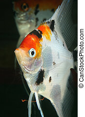 look of scalar - closeup image of nice head of aquarium fish