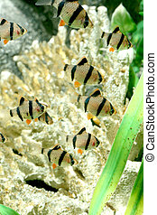 tiger barb - closeup underwater image of couple tiger barb...