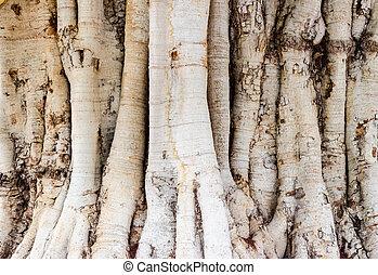 texture of a big Bodh tree