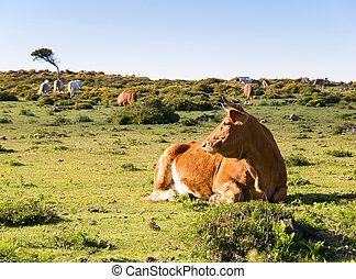 Cow lying in a field