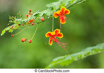 Flowers.  - Splendid Gulmohar Flowers in Thailand
