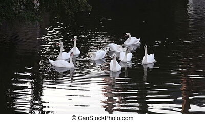 Swans swimming in the channel