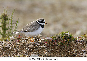 Ringed plover, Charadrius hiaticula, single bird on ground,...