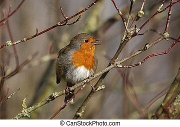 Robin, Erithacus rubecula, singing, Gloucestershire, winter...