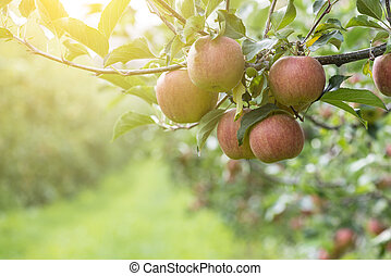 Apples On Tree In Apple Orchard - Red Apples On Tree In...