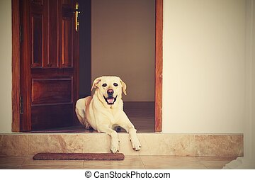 Dog in the door - Labrador retriever is lying in door of the...