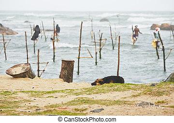 Stilt fishing - Traditional fishermen near Galle in Sri...