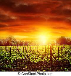 Vineyard in sunset - Vineyard in bright yellow sunset light,...