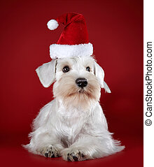 White miniature schnauzer puppy in a santa claus hat