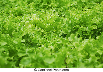 Beautiful Lettuce Outdoor - selective focus and wide...