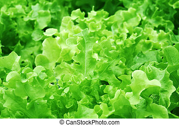 Hydroponic Lettuce - selective focus and wide aperture...