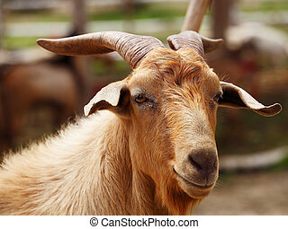 Unhappy Sick Goat - Sick and unhappy goat in farm.