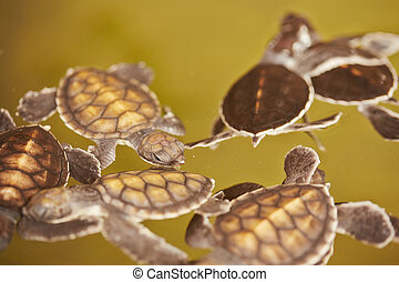 Baby turtles is swimming in Turtle Hatchery - Sri Lanka