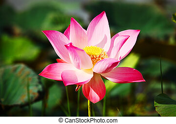 Lotus Aquatic Flora - original lotus or water lily aquatic...