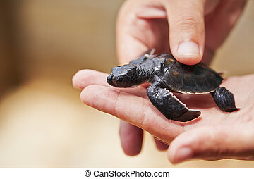 Newborn of turtle - Three days old turtle on the human palm...