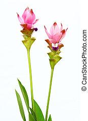 Siam Tulip - Pink Siam tulip focus on purple isolated on...