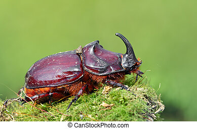 European rhinoceros beetle in the wild - Oryctes nasicornis