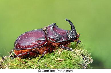 europeo, Rinoceronte, escarabajo, salvaje, -, Oryctes,...