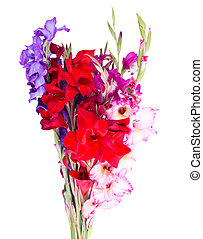 multicolored flowers gladiolus isolated on white background