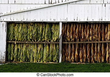 Amish Crops - A white weathered barn in Amish Country...