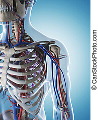 Male skeleton and vascular system - 3d rendered illustration...