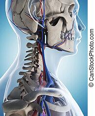 Male skeleton and vascular system - 3d rendered illustration...