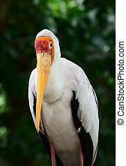 Yellow-billed stork Mycteria ibis is a large wading bird in...