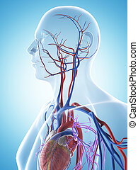 The male vascular system - 3d rendered illustration of the...