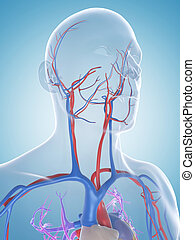 The male vascular system