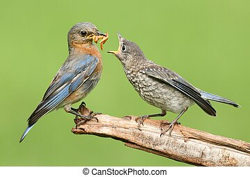 Female Eastern Bluebird With Baby - Female Eastern Bluebird...