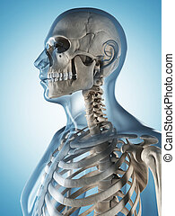 The male skeleton