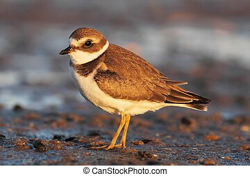 Semipalmated Plover (Charadrius semipalmatus) by the...