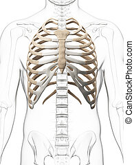 The thorax - 3d rendered illustration of the thorax