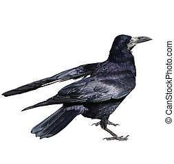 Rook isolated on white - Rook (Corvus Frugilegus), isolated...