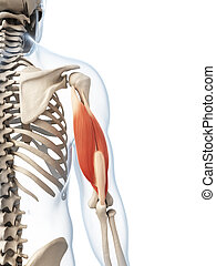 The triceps - 3d rendered illustration of the triceps