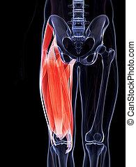 The upper leg musculature