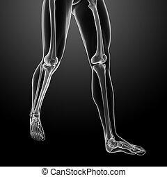 The leg bones