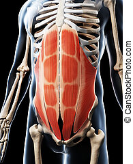 The abdominal muscles - 3d rendered illustration of the...