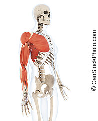 The arm musculature - 3d rendered illustration of the arm...