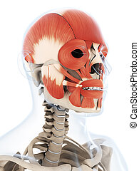The human facial musculature - 3d rendered illustration of...