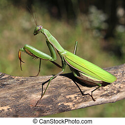 Praying Mantis insect in nature as a symbol of green natural...