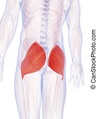 The gluteus maximus - 3d rendered illustration of the...