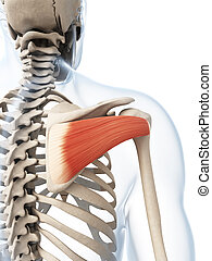 The infraspinatus muscle - 3d rendered illustration of the...
