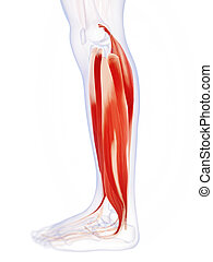 The lower leg muscles - 3d rendered illustration of the...