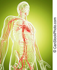 The vascular system - 3d rendered illustration of the...