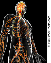 The male nervous system - 3d rendered illustration of the...