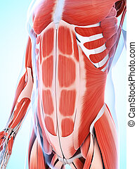 The male musculature - 3d rendered illustration of the male...